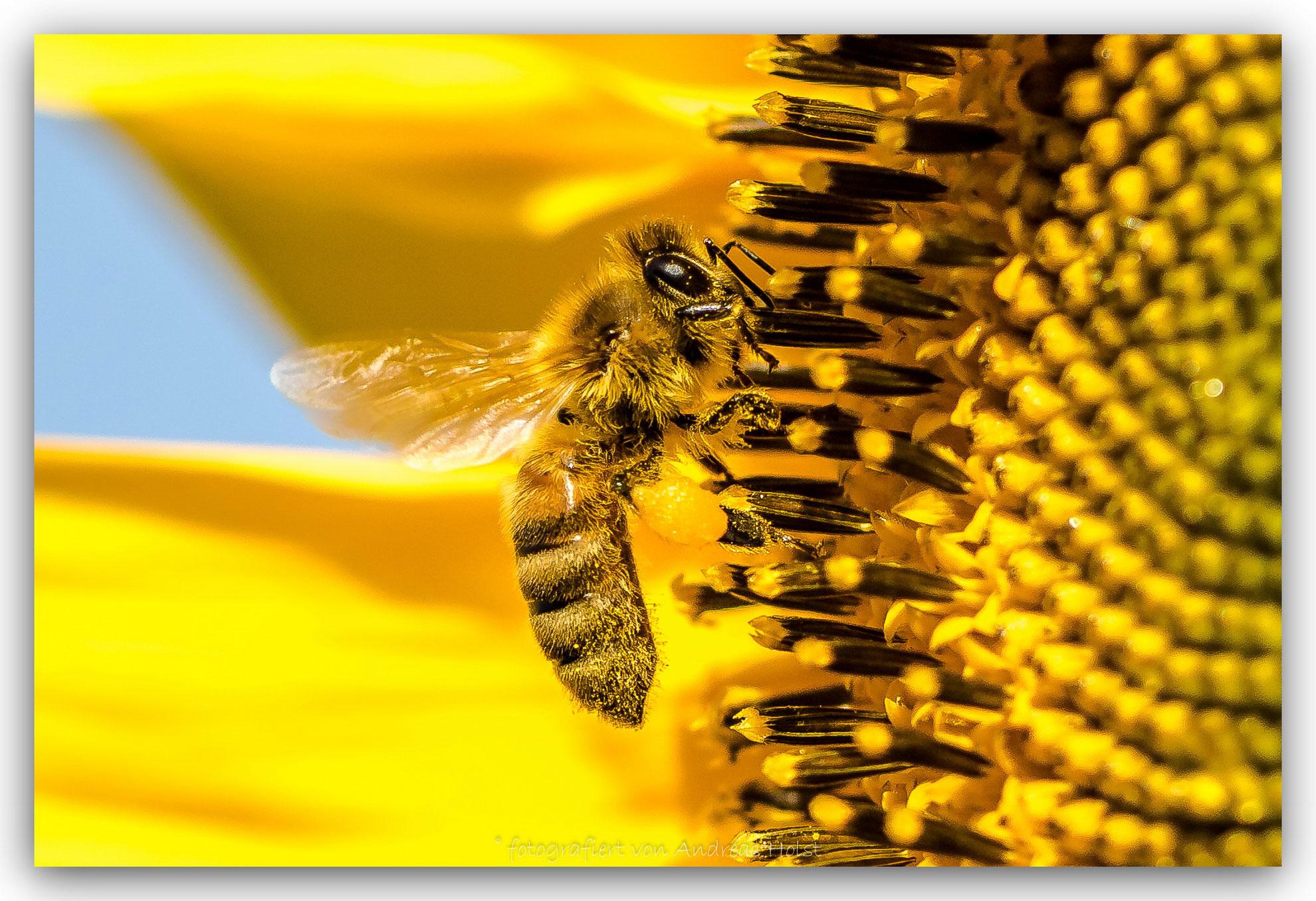 Bienen-in-Sonnenblume-9